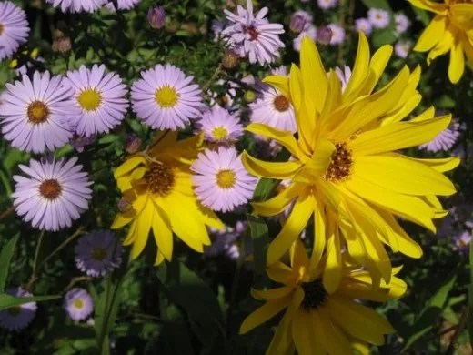 asters and heliopsis