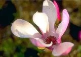Jane Tulip Magnolia Tree (2-3 ft tall in full gallon containers) Loads of spring blooms