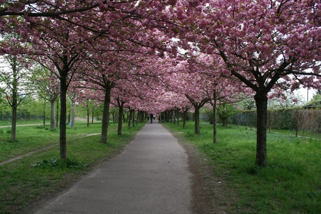 ornamental cherry trees