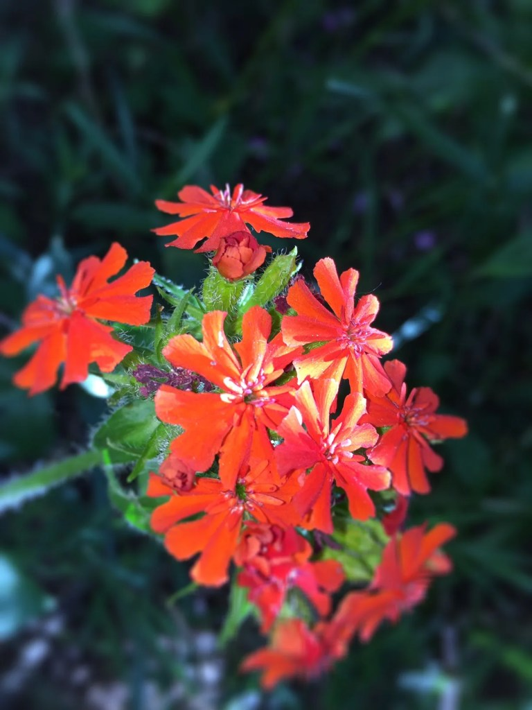 Lychnis Chalcedonica - Common name:Maltese Cross