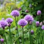 Herb Plant Information