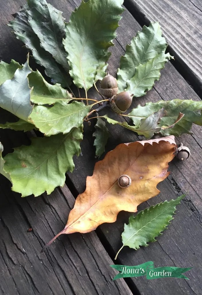 chinquapin leaves and acorns
