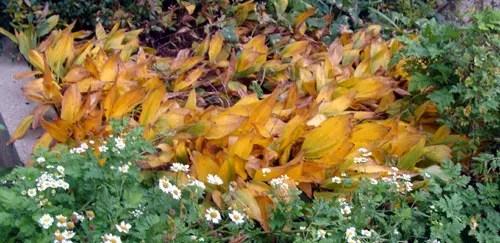 Convallaria majalis in fall