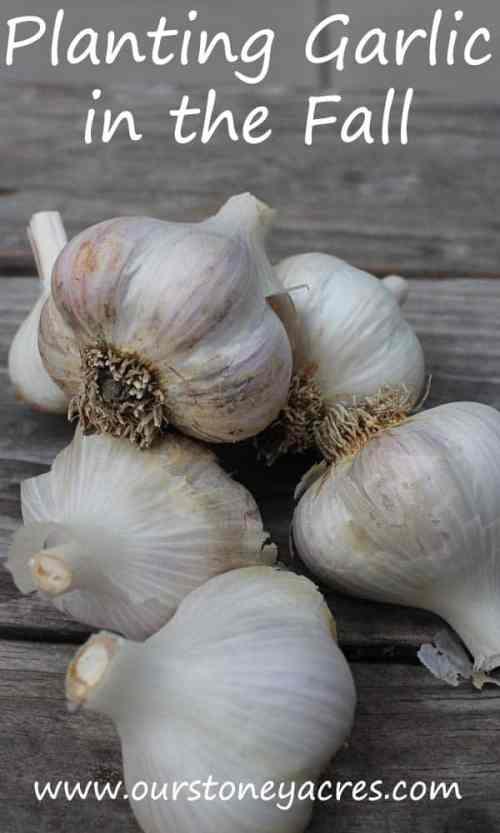 planting-garlic-in-the-fall