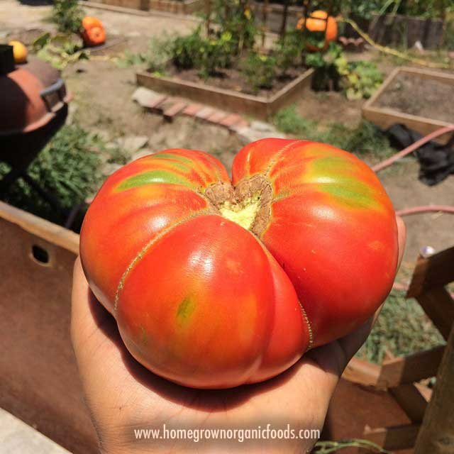 Elegant Large Homegrown Heirloom Tomato