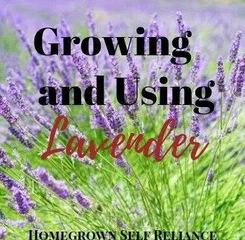 Everything You Need to Know About Lavender