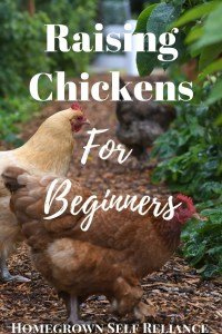 Do you want chickens? There is so much conflicting advice out there on how to properly care for them. Read here for a great primer on raising chickens for beginners.