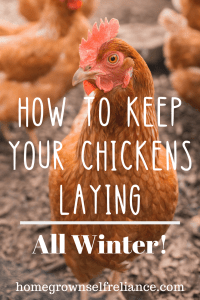 Are you tired of free-loading chickens? Here are some tips to keep your chickens warm and healthy, so they will give you eggs all winter! #chickens #backyardchickens #fresheggsdaily
