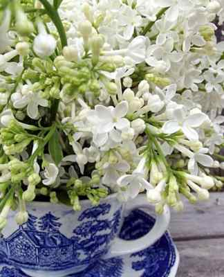White Lilacs arranged in teacup- Home in the Finger Lakes
