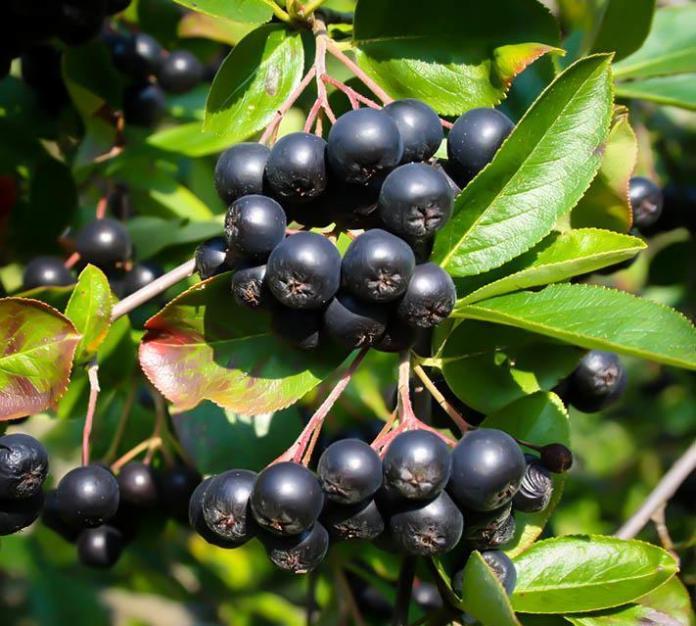 Health benefits of chokeberries