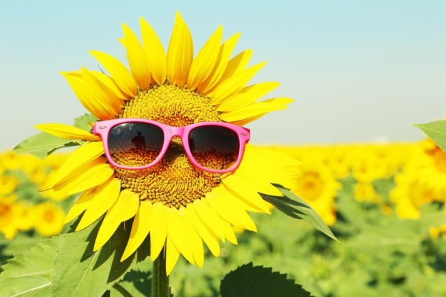 Health benefits of sunflower