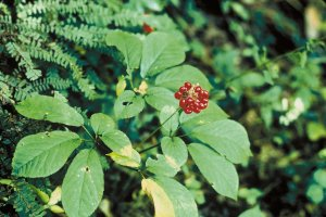 ginseng, adhd treatment home remedy