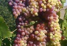 angina, grapes