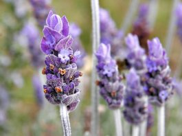 lavendar essential oil