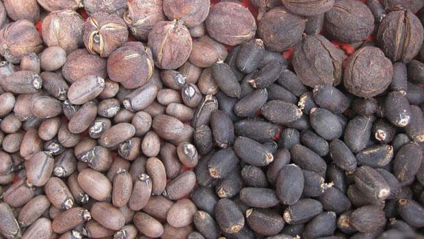 ভেরেন্ডার seed