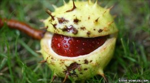 horse-chestnut-seed