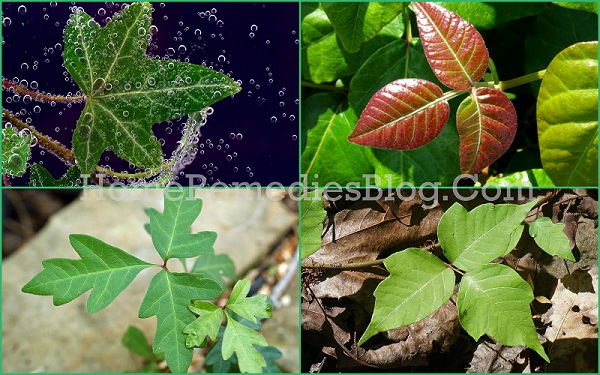 Pictures of Poison Ivy Plant