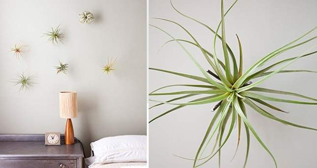 Hang eenvoudig je luchtplantje op aan visdraad | 9 eenvoudige tips voor luchtplantjes in huis | www.homeseeds.nl