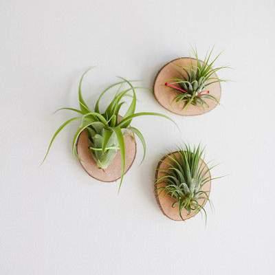 Doe het zelf tip - luchtplantjes aan een plankje voor aan de muur   9 makkelijke diy tips voor luchtplantjes in huis   www.homeseeds.nl