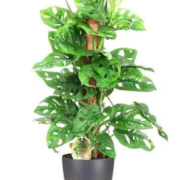 Groene kamerplant monstera monkey op stok