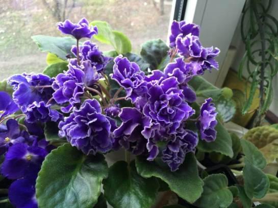 fiołek ultra violet nebula
