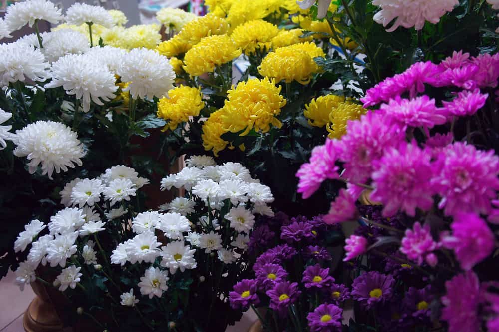 13 Different Types Of Chrysanthemums Plus Planting Tips And