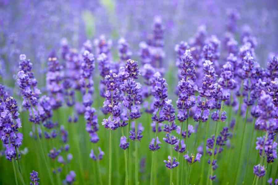 27 Different Types of Lavender and Benefits of Growing Them Lavender flowers in an open field