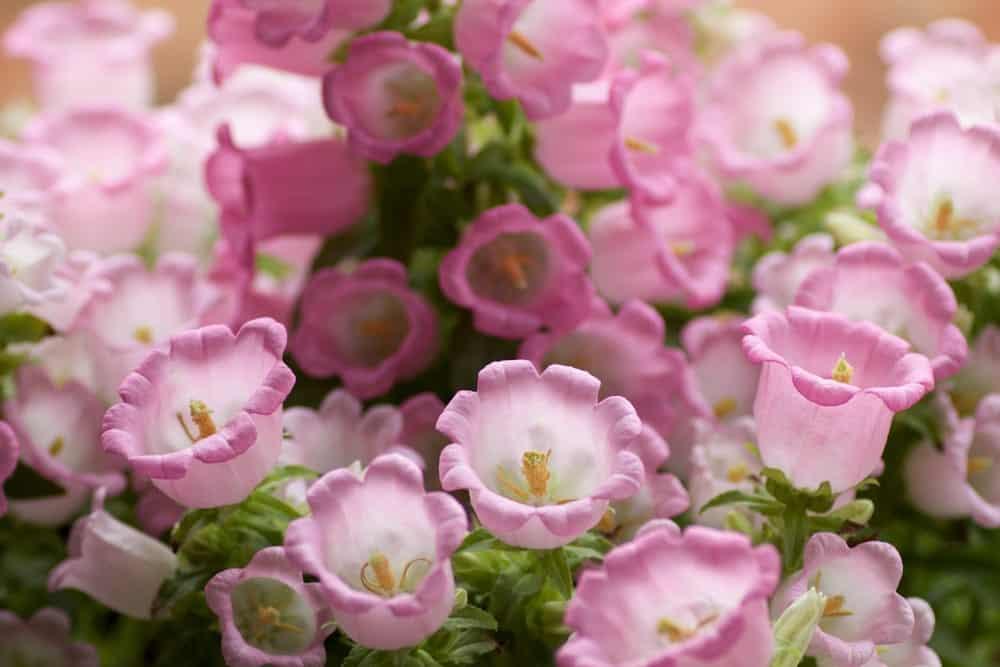 Canterbury Bells Flowers White