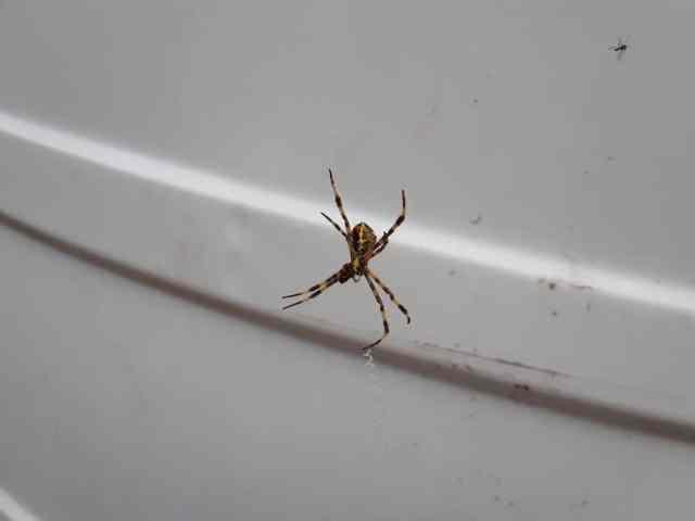 Dolabın içindeki ağında bir örümcek.