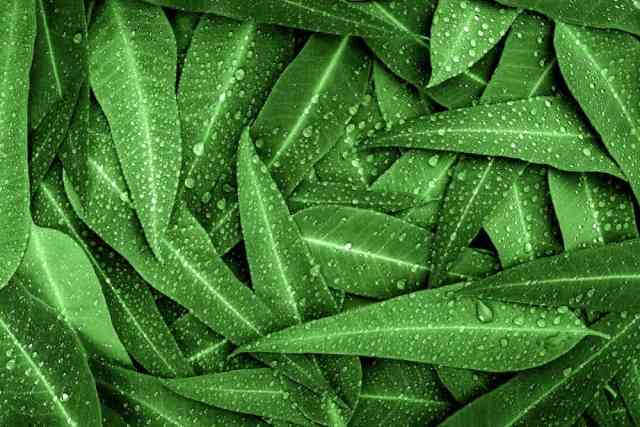 Bir demet yeşil okaliptüs, yağmur damlalarıyla birlikte bırakır.