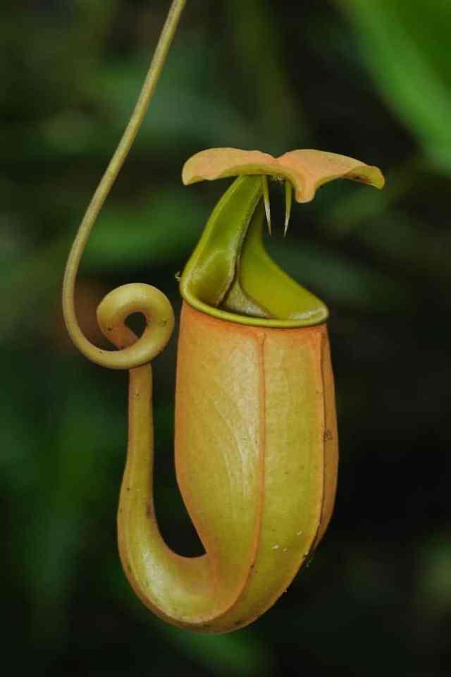 Etçil nepenthes çiçeğine yakından bakış.