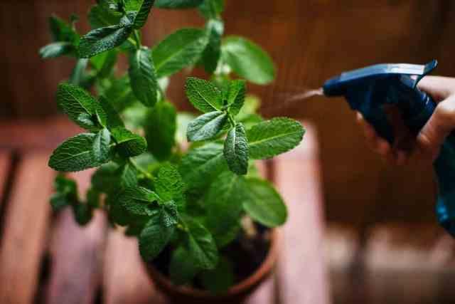 Sulanan saksılı nane bitkisine yakından bakış.