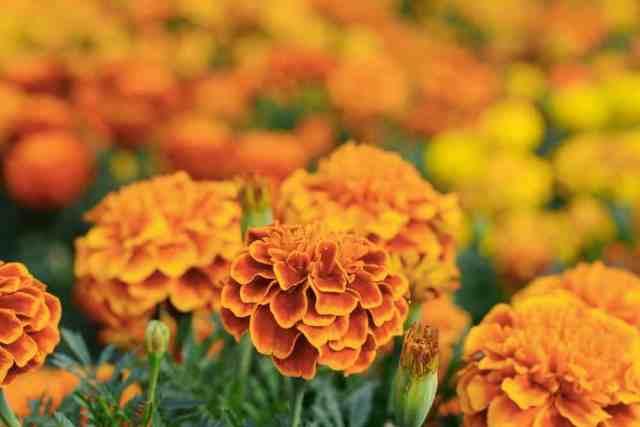 Turuncu kadife çiçeği tarlasına yakından bakış.