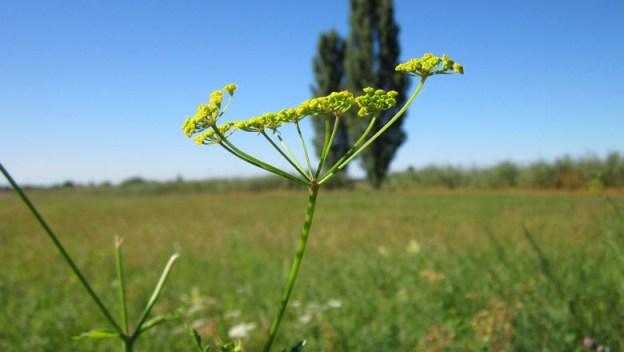 wild-parsnip-web