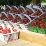 Life on the Farm: Strawberries