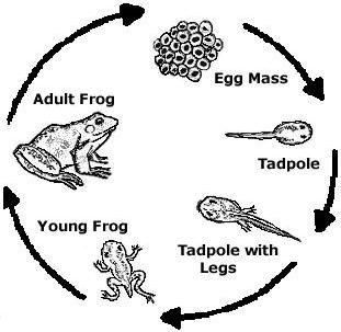what is a life cycle young science explorers