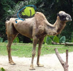 A Camel with a Camelback