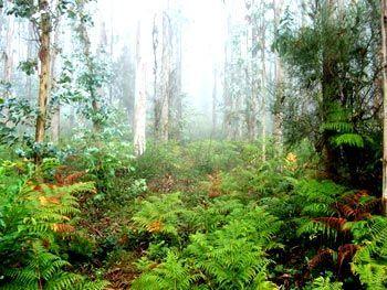 Bosques eucaliptos Santa Irene
