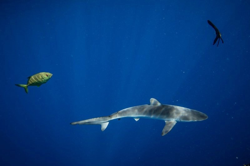 A shark and other wildlife surround a FAD (fish aggregating device) found by Greenpeace. Greenpeace is in the Indian Ocean to document and peacefully oppose destructive fishing practices.