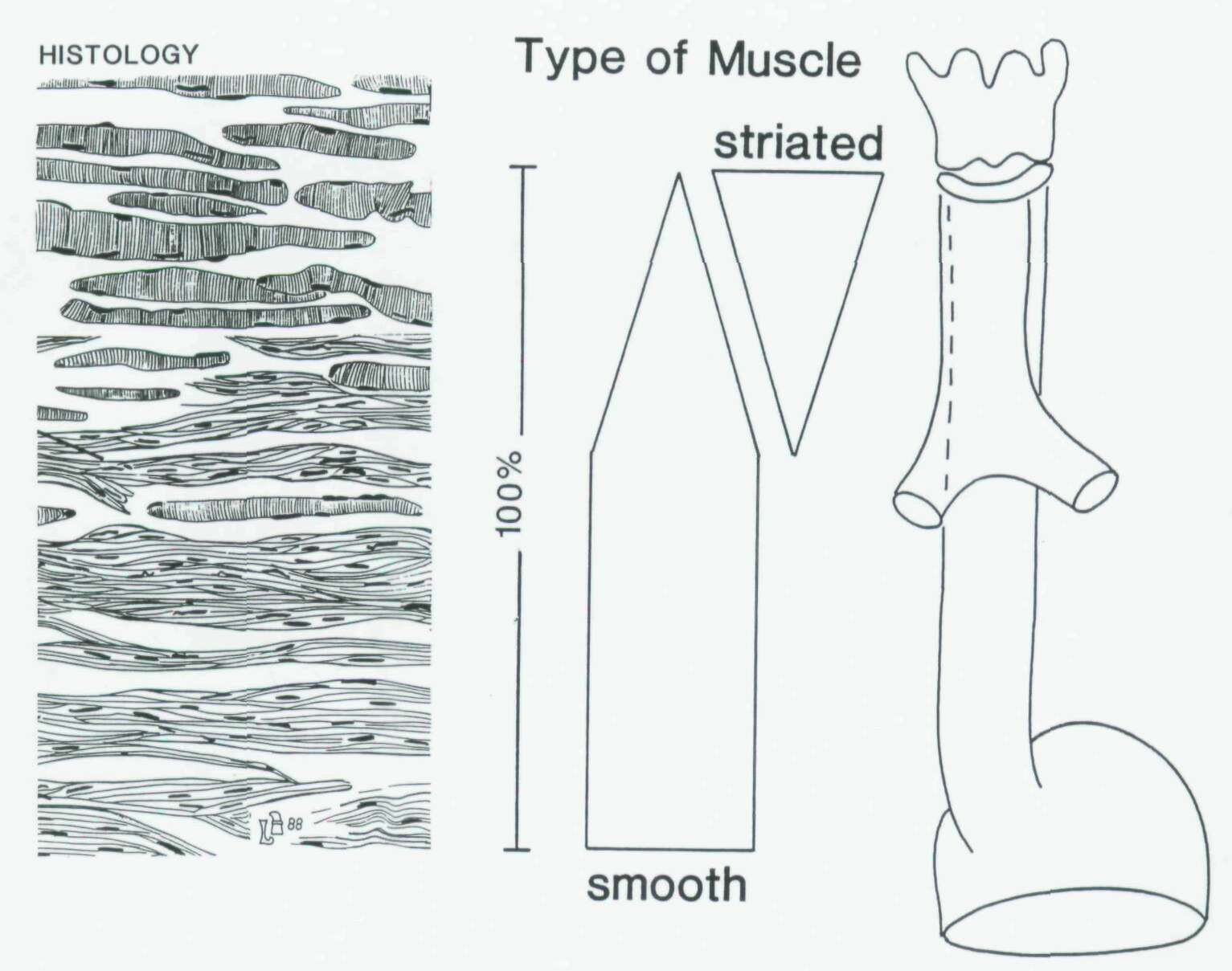 Is The Transition Of Striated Into Smooth Muscle Precisely