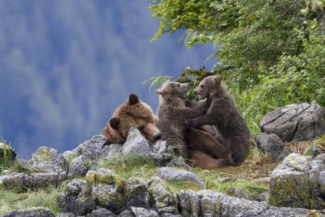 Disneynature movie Bears where cubs are playing adorable!