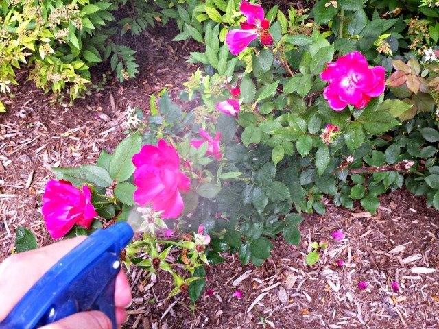 Spraying rose bushes with homemade nontoxic bug spray