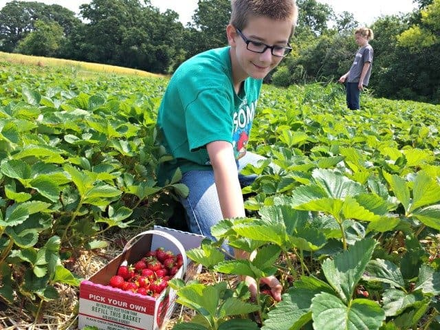 Hard at work picking strawberries
