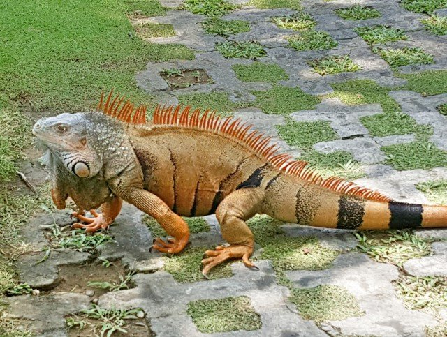 Unique iguanas as pirates birds and monkeys