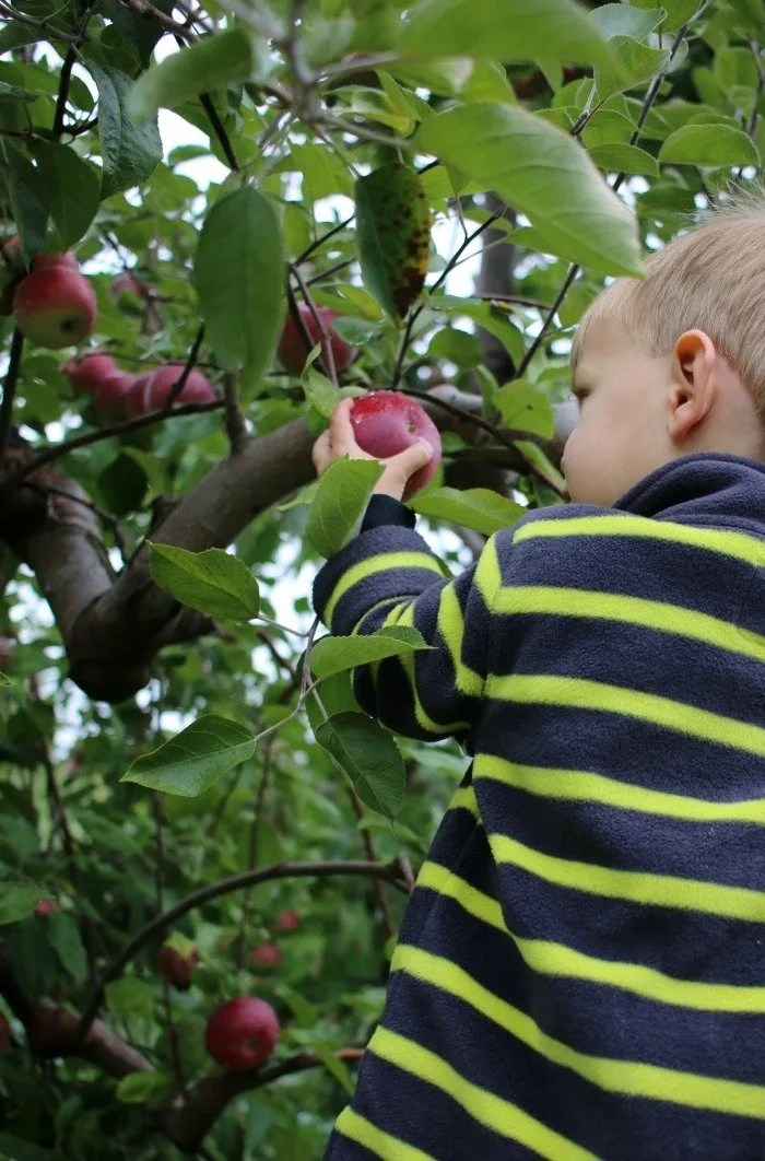 little-boy-picking-apple-from-the-tree