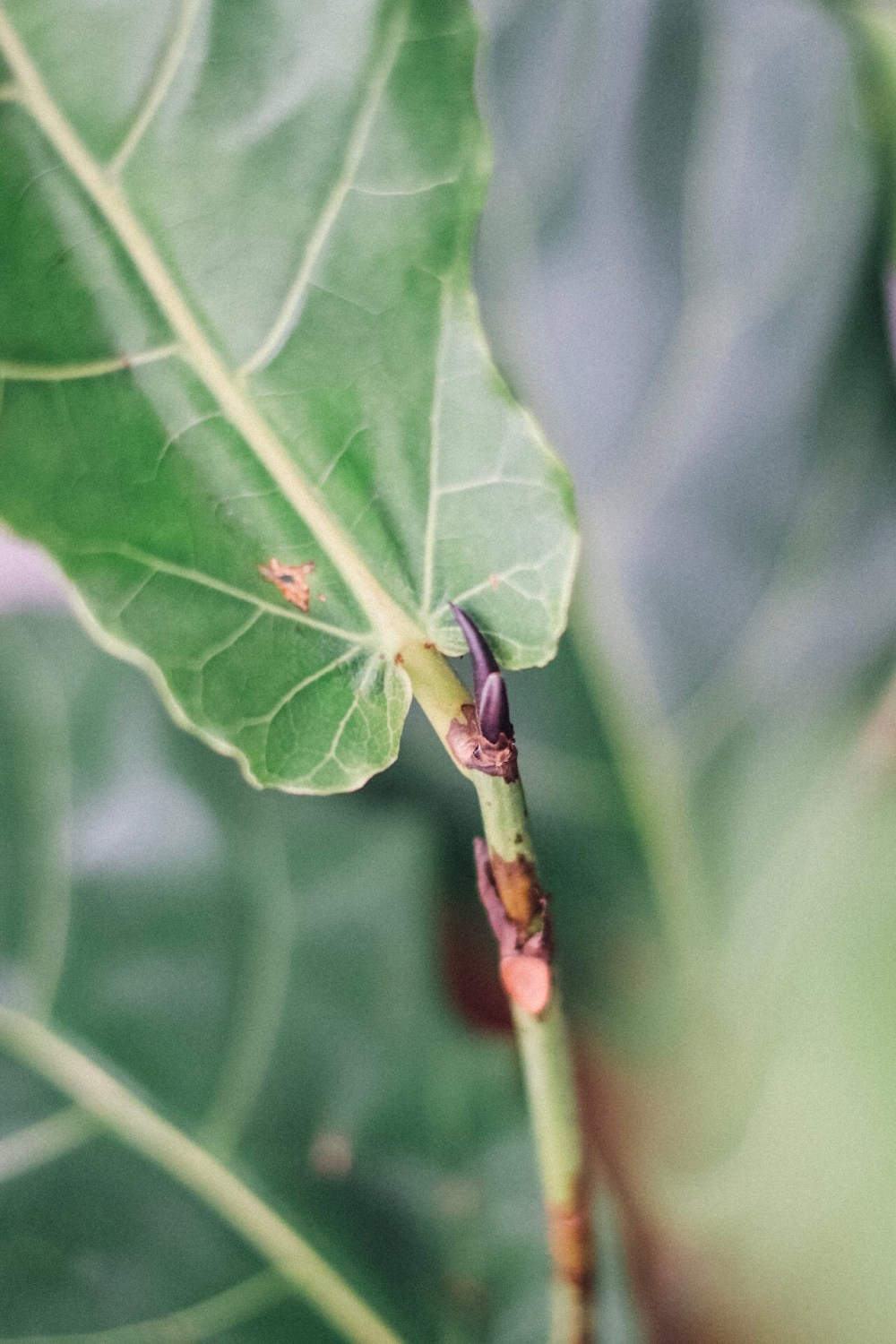 5 Must-Know Tips On How To Grow Your Fiddle Leaf Fig In