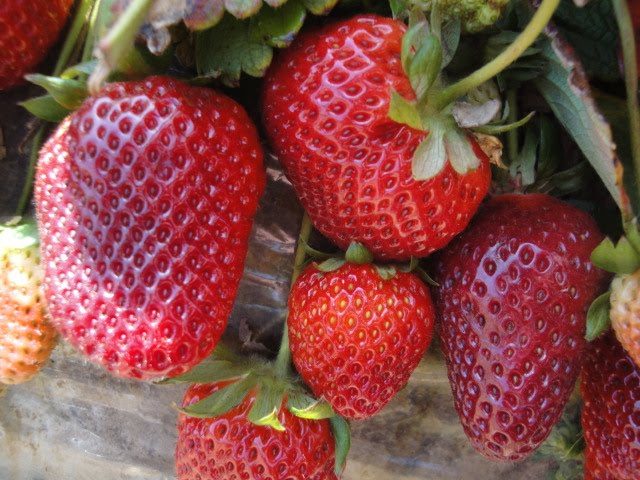 U-pick strawberries growing at Carlsbad farm