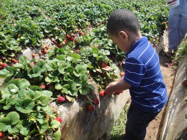 Where to go strawberry picking in San Diego