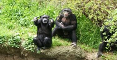 Chimpanzee Exhibit, Los Angeles Zoo
