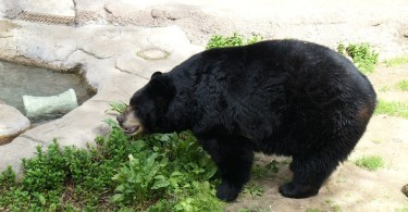 Photo of American Black Bear, Los Angeles Zoo